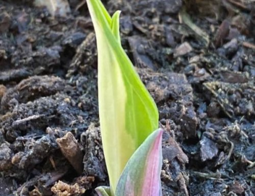 Nouvelle pousse de l'Hosta 'Fire and Ice'