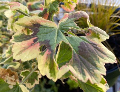 Une chenille a dévoré mon beau pélargonium multicolore