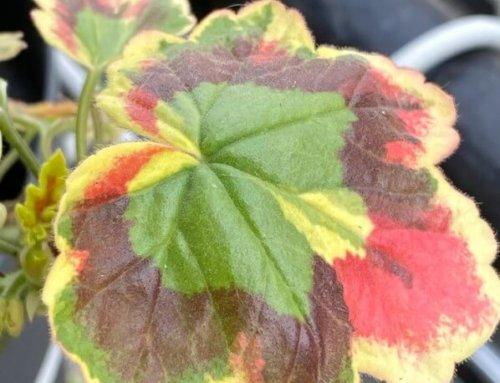Mon pélargonium retrouve ses couleurs vives
