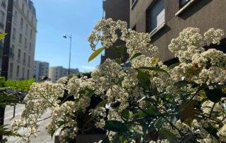 Photinia en pleine floraison, Paris 19e (75)
