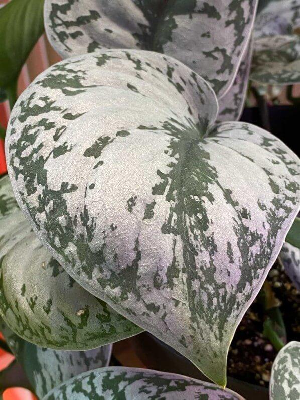 Scindapsus, Aracées, plante d'intérieur, Paris 19e (75)