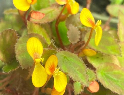 Petit bégonia mais généreuse floraison