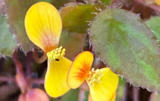 Begonia vankerckhovenii, Bégoniacées, plante d'intérieur, Paris 19e (75)