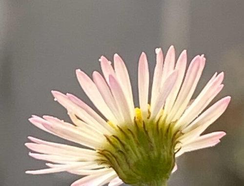 Le soleil et la fleur d'érigéron