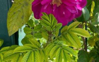 Feuillage chlorotique d'un rosier rugueux, Paris 19e (75)