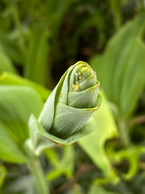 Nouvelle pousse de sceau-de-Salomon (Polygonatum) au début du printemps sur mon balcon parisien, Paris 19e (75)