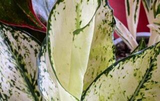 Aglaonema, Araceae, plante d'intérieur, Paris 19e (75)
