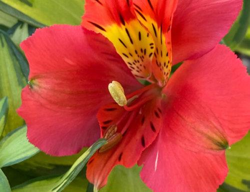 Première fleur de mon alstroemère 'Little Miss Zoé'