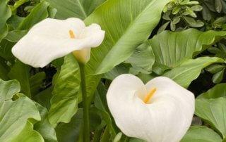 Arum des fleuristes, Zantedeschia aethiopica, Paris 19e (75)