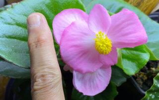Bégonia Tophat Pink, Bégoniacées, plante d'intérieur, Paris 19e (75)