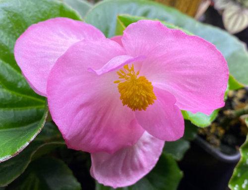 Les fleurs énormes du bégonia Tophat Pink
