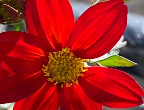 Quand le soleil enflamme le Bidens Spicy Dark Red