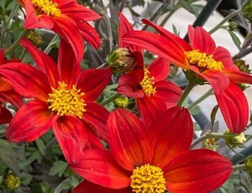 Joli bouquet de fleurs pour mon Bidens 'Spicy Dark Red'