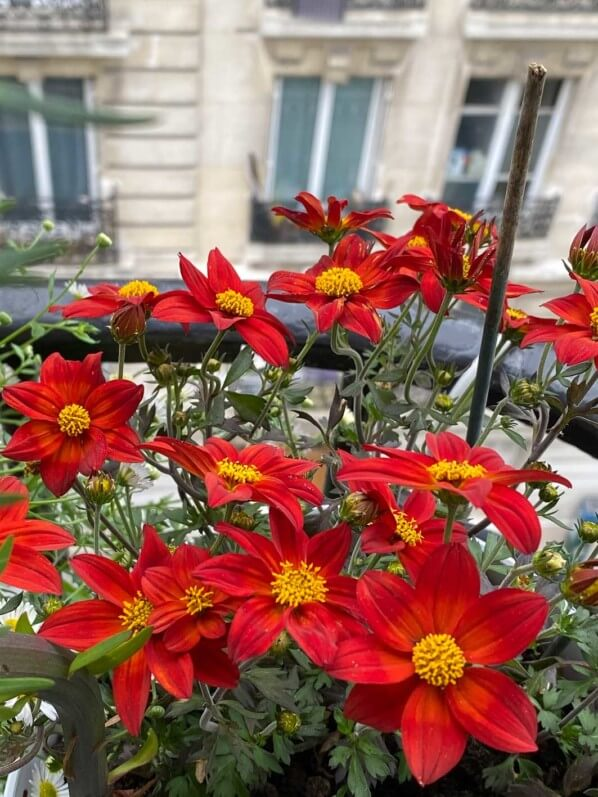 Bidens 'Spicy Dark Red', fleur annuelle, au printemps sur mon balcon parisien, Paris 19e (75)