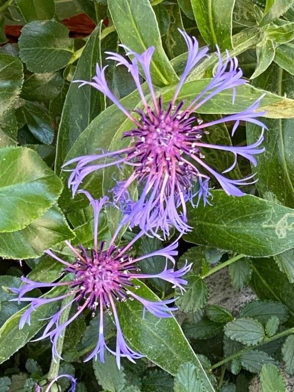 Bleuet des montagnes, centaurée des montagnes, Centaurea montana, plante vivace, rue Guynemer, Paris 6e (75)