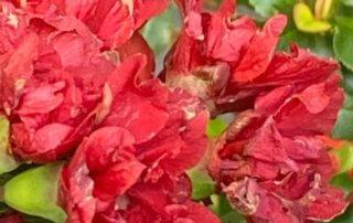Cognassier du Japon, Chaenomeles 'Red Joy', jardinerie Truffaut, quai de Seine, Paris 13e (75)