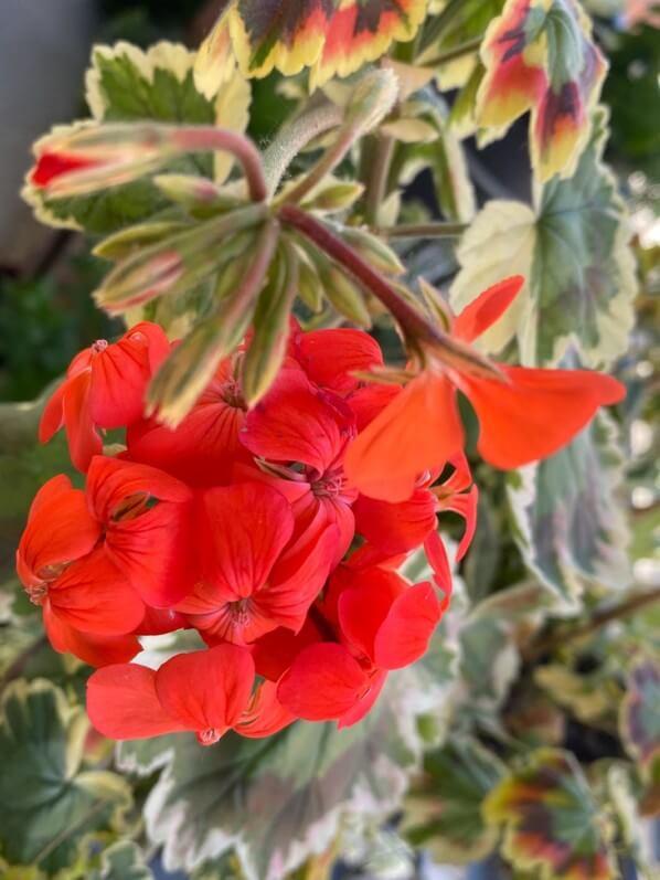 Géranium, Pélargonium Tricolor, au printemps sur mon balcon parisien, Paris 19e (75)