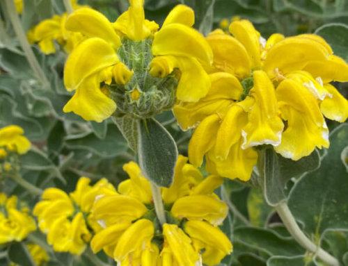 Sauge de Jérusalem (Phlomis fruticosa), rustique et florifère