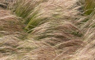 Stipe cheveux d'ange, Stipa tenuifolia, graminée, Poacées, place de la Nation, Paris 12e (75)