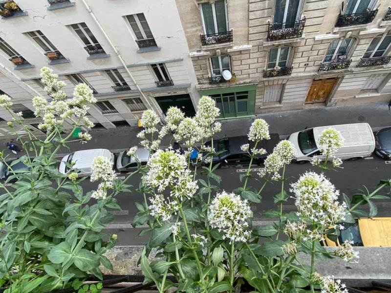 Valériane des jardins, Centranthus tuber 'Albus, au printemps sur mon balcon parisien, Paris 19e (75)