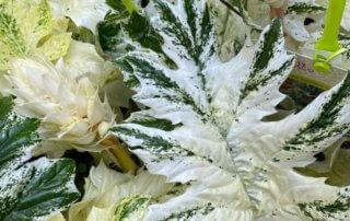 Acanthe 'Whitewater', feuillage décoratif, feuillage panaché, jardinerie Truffaut, quai de Seine, Paris 13e (75)