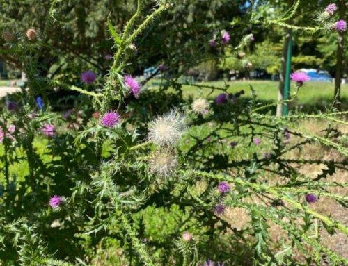 Chardon crépu (Carduus crispus)