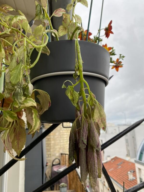 Potée de coléus abimé par le vent, au printemps sur mon balcon parisien, Paris 19e (75)