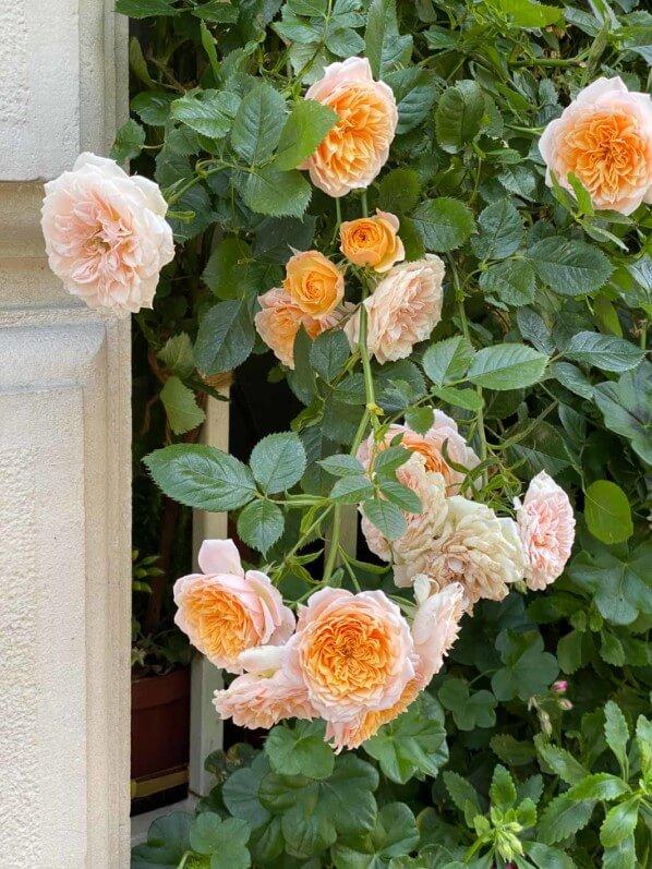 Rosier, fenêtre fleurie, avenue de l'Observatoire, Paris 6e (75)