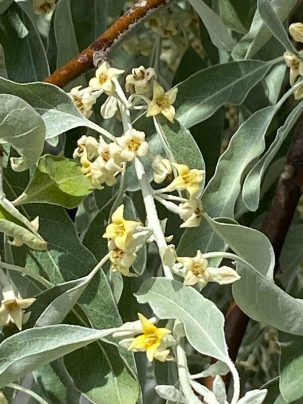 Fleurs de l'olivier de Bohème, Eleagnus angustifolius, arbre, Paris 19e (75)