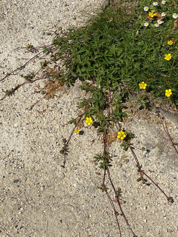 Potentille rampante, Potentilla reptans, adventice, au printemps dans les Jardins des Champs-Élysées, Paris 8e (75)