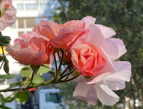 Quelques roses vues dans Paris