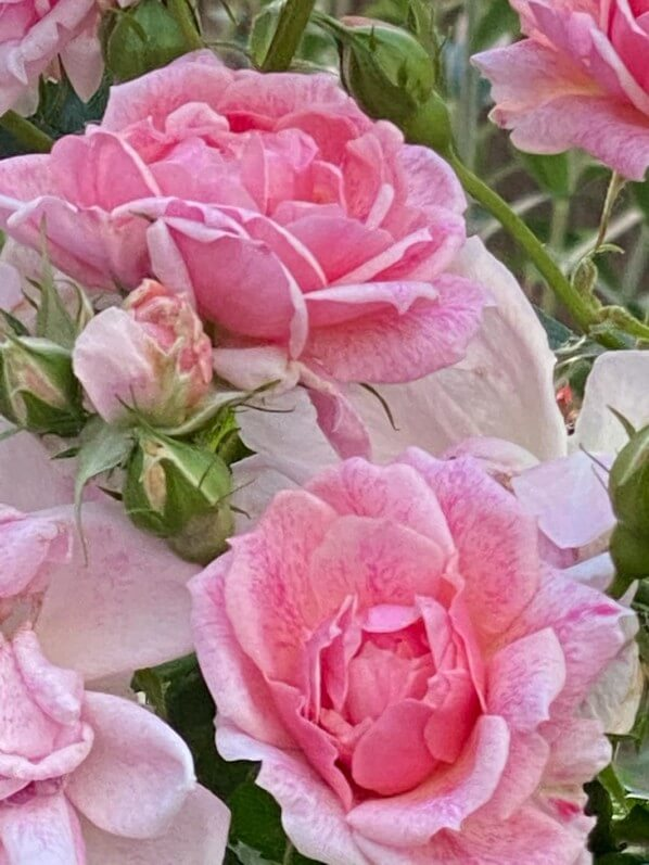 Roses, Paris 13e (75)
