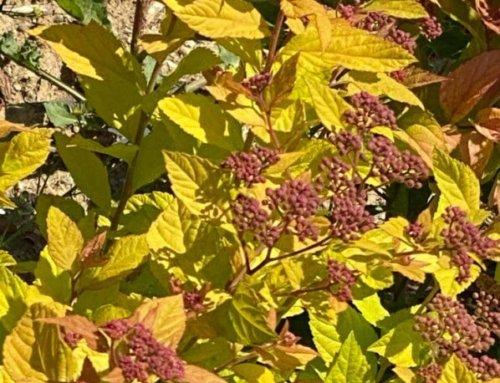 Les feuillages d'arbustes en or du printemps