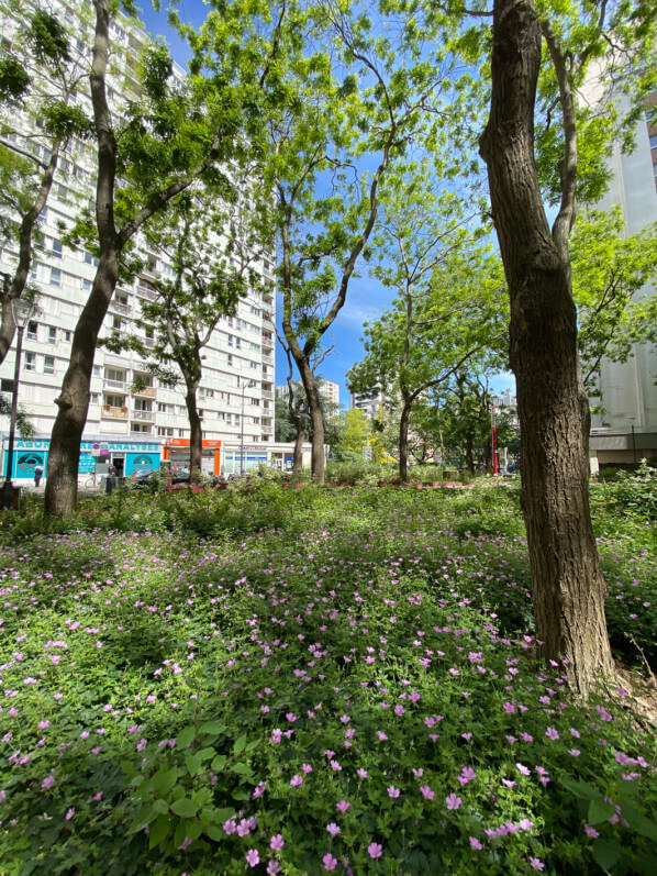 Tapis de géraniums vivaces, rue d'Alésia, Paris 14e (75)