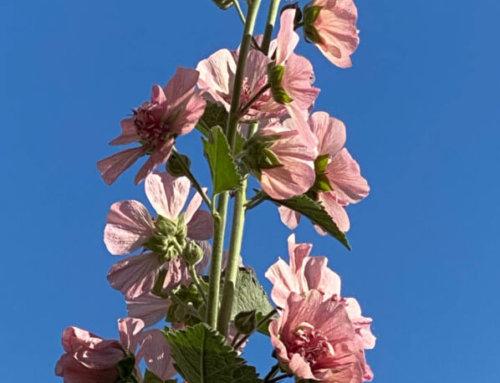 Alcathea 'Parkfrieden' dans le soleil du matin