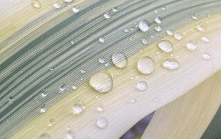 Gouttes d'eau de pluie sur le feuillage de l'Arundo donax 'Variegata Compact Elly' au printemps sur mon balcon parisien, Paris 19e (75)