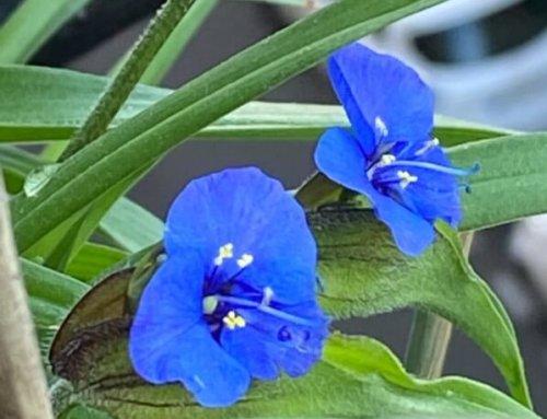 Floraison des Commelina dianthifolia