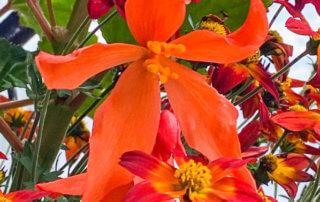 Begonia 'Bertini Skaugum', Bidens 'Spicy Dark Red',au printemps sur mon balcon parisien, Paris 19e (75)
