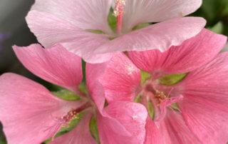 Fleurs de la lavatère 'Song Bird' au printemps sur mon balcon parisien, Paris 19e (75)