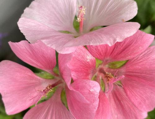Trio de fleurs de la lavatère 'Song Bird'