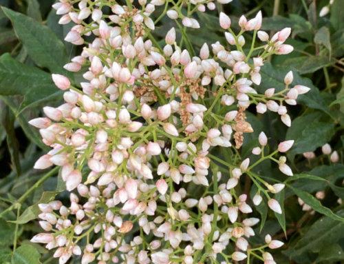 Les brassées de perles du bambou sacré (Nandina domestica)
