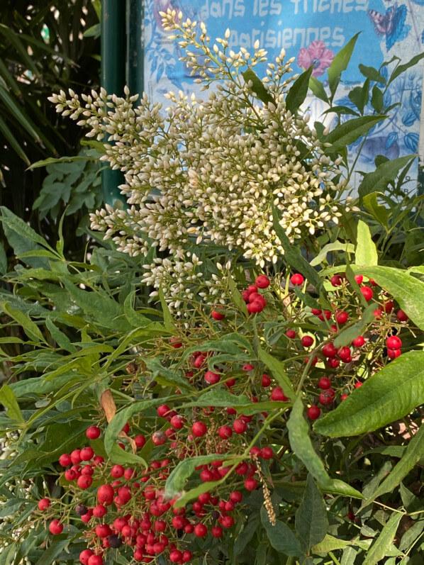 Nandina domestica, boutons floraux, arbuste, Square du Temple - Elie-Wiesel, Paris 3e (75)