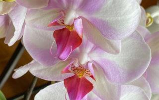 Phalaenopsis hybride, orchidée, Orchidacées, plante d'intérieur, Paris (75)