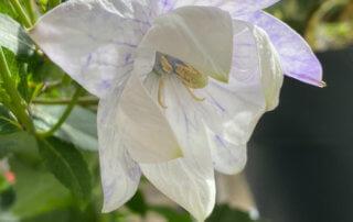 Platycodon grandiflorus 'Hakone White' au printemps sur mon balcon parisien, Paris 19e (75)