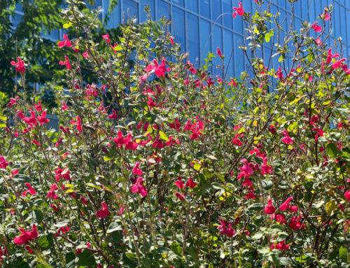 Les sauges de Graham parisiennes sont déjà couvertes d'une nuée de petites fleurs