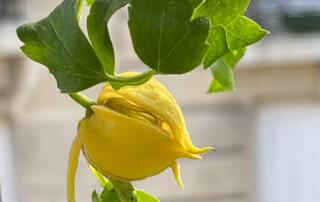 Clematis 'Little Lemons', clématite 'Little Lemon', au début de l'été sur mon balcon parisien, Paris 19e (75)