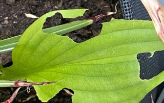 Dégâts d'otiorhynques sur feuilles d'hosta au début de l'été sur mon balcon parisien, Paris 19e (75)
