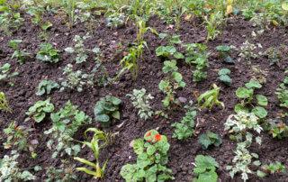 Jeunes plants dans un massif d'été, Square Samuel de Champlain, Paris 20e (75)