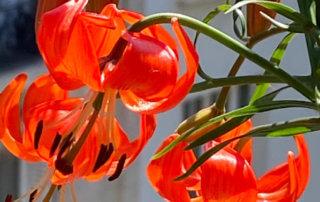 Lis écarlate, Lilium pumilum, Lilium tenuifolium, plante bulbeuse, au printemps sur mon balcon parisien, Paris 19e (75)