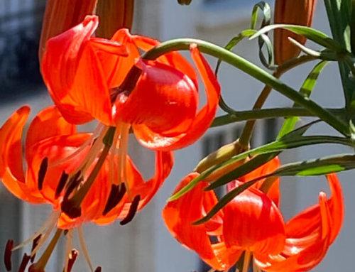 Début de floraison pour mon lis écarlate (Lilium tenuifolium, L. pumilum)